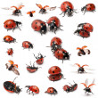 Collection of Seven-spot ladybirds, Coccinella septempunctata, in front of white background — Stock Photo #10904863