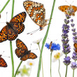 Stock Photo: Pastoral composition of Knapweed Fritillary, Melitaephoebe, on