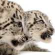 Stock Photo: Snow leopards, Uncia uncia or Panthera uncial, 2 months old, in front of white background