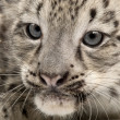 Snow leopard, Uncia uncia or Panthera uncial, 2 months old, close up - Stock Photo