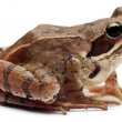 Moor Frog, Rana arvalis, in front of white background — Stock fotografie