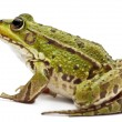 Common European frog or Edible Frog, Rana esculenta, in front of white background — Stock Photo