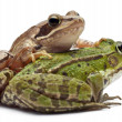 Stock Photo: Common Europefrog or Edible Frog, Ranesculenta, and Moor