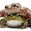 Common European frog or Edible Frog, Rana esculenta, and a Moor Frog, Rana arvalis, in front of white background — Stock Photo