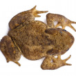 High angle view of Common toad or European toad, Bufo bufo, in front of white background — Stock Photo #10905208