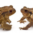 Two common toads or European toads, Bufo bufo, facing each other in front of white background — Stock Photo