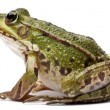 Stock Photo: Common Europefrog or Edible Frog, Rankl. Esculenta, in front of white background