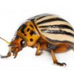 Colorado potato beetle, also known as the Colorado beetle, the ten-striped spearman, the ten-lined potato beetle or the potato bug, Leptinotarsa decemlineata, in front of white background — Stock Photo #10905238