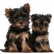 Stock Photo: Yorkshire Terrier puppies, 8 weeks old, in front of white background