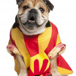 English Bulldog dressed in a football jersey in front of white background — Stock Photo