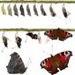 Composite of Peacock butterfly, Inachis io, emerging from its chrysalis in front of white background — Stock Photo