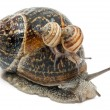 Stock Photo: Garden snail with its babies on its shell in front of white background