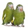 Stock Photo: White-winged Parakeets, Brotogeris versicolurus, 5 years old, in front of white background