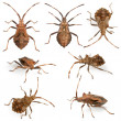 Dock bugs, Coreus marginatus, species of squash bug, in front of white background - Foto Stock