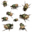 Stock Photo: Scarab beetles - Onthophagus Sp, in front of white background
