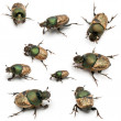 Scarab beetles - Onthophagus Sp, in front of white background - Stock Photo