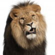 Close-up of lion, Panthera leo, 8 years old, in front of white background — Stock Photo #10905714