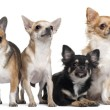 Four Chihuahuas, 6 months old, 3 years old, and 2 years old, in front of white background - Stok fotoğraf