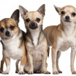 Three Chihuahuas, 6 months old, 3 years old, and 2 years old, in front of white background — Stock Photo