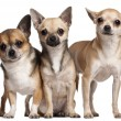 Three Chihuahuas, 6 months old, 3 years old, and 2 years old, in front of white background — Stock Photo #10905809