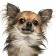 Close-up of Chihuahua, 2 years old, in front of white background — Stock Photo #10905851