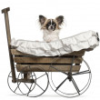 Chihuahua, 10 months old, sitting in old-fashioned wagon in front of white background - Stock Photo
