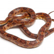 Classical Corn Snake or Red Rat Snake, Pantherophis guttatus, in front of white background — Stock Photo