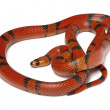 Stock Photo: Hypomelanistique Hondurmilk snake, Lampropeltis triangulum hondurensis, in front of white background