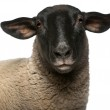 Female Suffolk sheep, Ovis aries, 2 years old, portrait in front of white background — Stock Photo #10906156