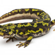 Marbled Newt - Triturus marmoratus — Stock Photo
