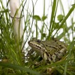 Common European frog or Edible Frog, Rana esculenta in grass, wi — Stock Photo