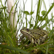 Stock Photo: Common Europefrog or Edible Frog, Ranesculentin grass, wi