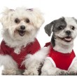 Maltese, 6 years old, and Shih Tzu, 5 years old, dressed in red and sitting in front of white background — Stock Photo