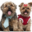 Yorkshire Terriers dressed up, 4 and a half and 7 years old, sitting in front of white background — Stock Photo