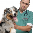 Vet examining a winking Australian Shepherd in front of white background — Stock Photo