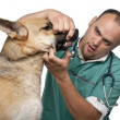 Vet examining a German Shepherd in front of white background — Stock Photo