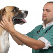Vet examining a mixed-breed dog in front of white background — Stock Photo