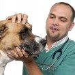 Vet examining a mixed-breed dog in front of white background — Photo