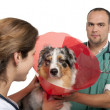 Vets putting a space collar on an Australian Shepherd in front of white background - Stockfoto