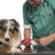 Vet wrapping a bandage around an Australian Shepherd's paw in front of white background - Stock Photo