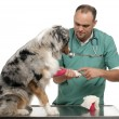 Royalty-Free Stock Photo: Vet wrapping a bandage around an Australian Shepherd&#039;s paw in front of white background