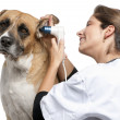 Vet examining a Crossbreed dog, dog's ear with an otoscope in front of white background — Stok fotoğraf