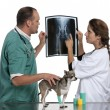 Vets examining a Chihuahua's radiography in front of white background — Stock Photo #10906619