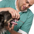 Vet examining a Border Collie in front of white background - Foto Stock