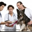 Vets wrapping a bandage around a Border Collie's paw in front of white background — Stock Photo #10906639