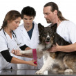 Vets wrapping a bandage around a Border Collie's paw in front of white background — Stock Photo #10906642