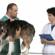 Vet and vet intern examining a border collie in front of white background — Stock Photo