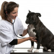 Vet examining a Crossbreed dog, dog with a stethoscope in front of white background — Stock Photo