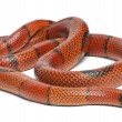 Stock Photo: Hypomelanistic aberrant Hondurmilk snake, Lampropeltis triangulum hondurensis, in front of white background