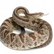 Постер, плакат: South American rattlesnake Crotalus durissus poisonous whit